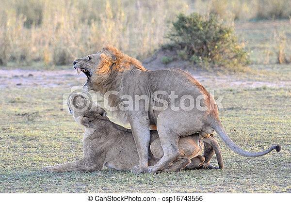 Stock im genes de le n pareja apareamiento csp16743556 buscar stock de fotos pel culas - Leones apareamiento ...
