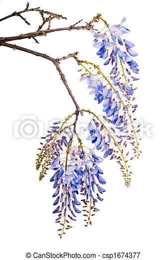 blue wisteria flowers - csp1674377