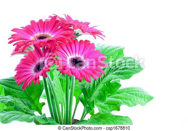 Pink gerbera in a pot - csp1678810