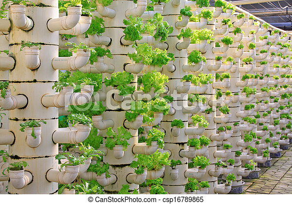 Stock image of lettuce soilless cultivation of three for Soil less farming