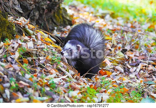 Ferret in yellow autumn leaves - csp16791277