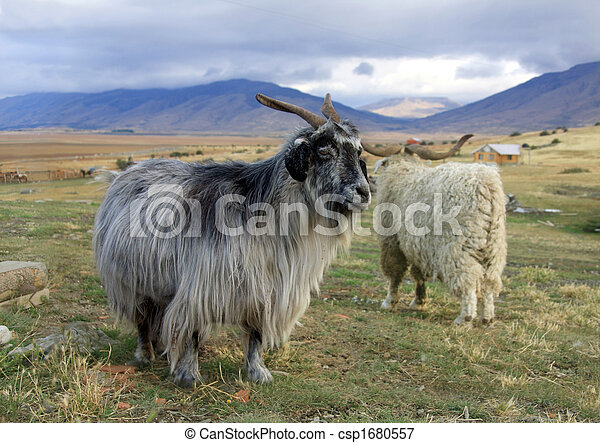 Picture of Goat - A goat at the ranch in Patagonia
