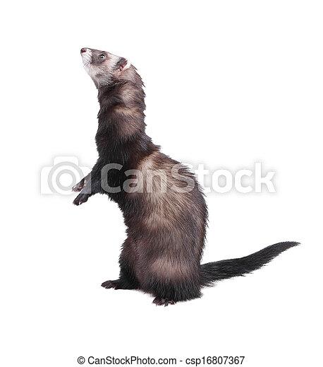 Ferret standing on hind legs - csp16807367