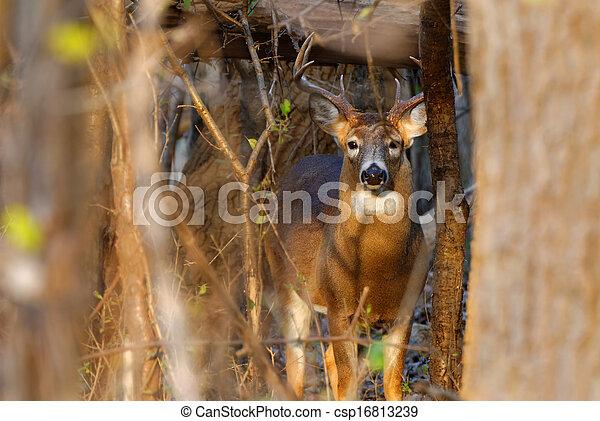 Whitetail Deer Buck - csp16813239