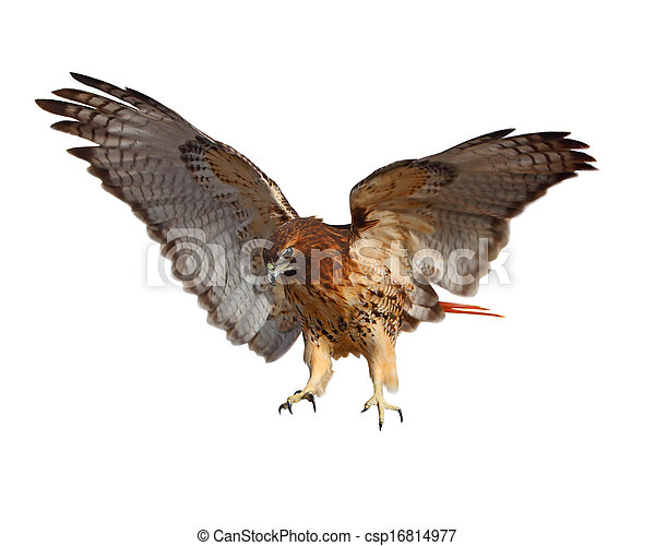 Red Tailed Hawk - csp16814977