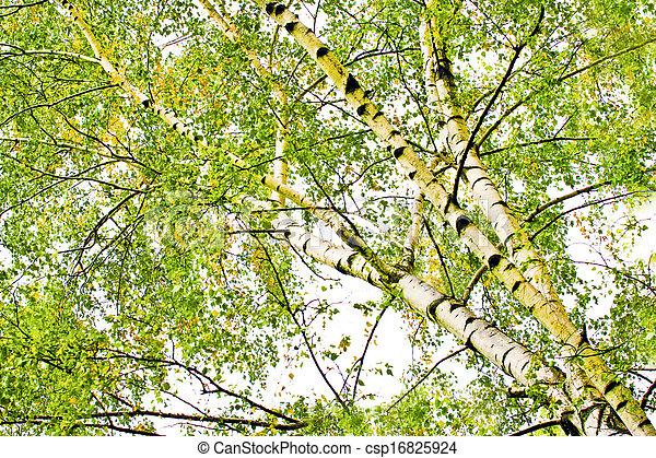 Photo de feuilles caduques bouleau arbres t - Arbres a feuilles caduques ...