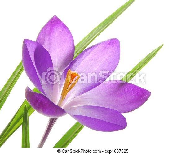 violet spring crocuses - csp1687525