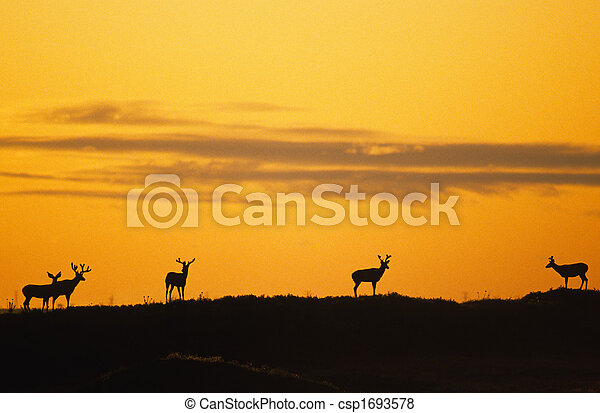 Mule Deer in Sunrise - csp1693578