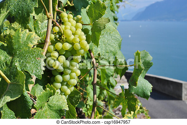 Grapes against Geneva lake, Switzerland - csp16947957