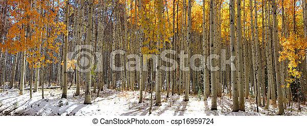 Aspen trees - csp16959724