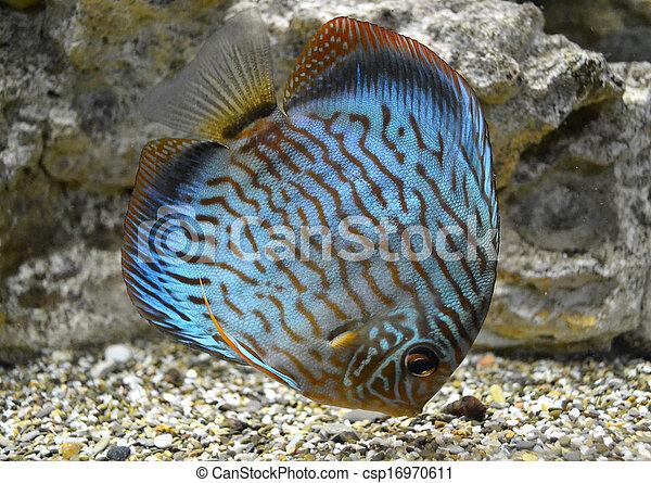 Stock fotografie von fische salzwasser diskus aquarium for Salzwasser aquarium fische