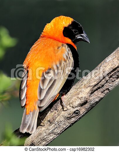Photographies de tisserand v que oiseau beau orange for Oiseau orange et noir
