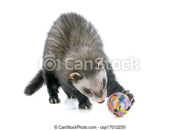 brown ferret and ball - csp17012230