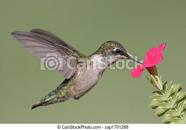 Juvenile Ruby-throated Hummingbird (archilochus colubris) - csp1701268