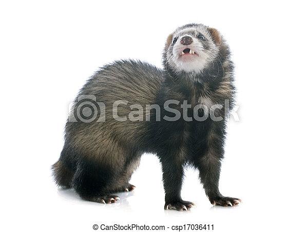 brown ferret - csp17036411