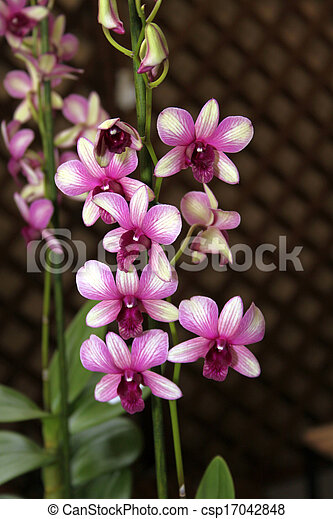 stock foto von bunte orchidee arten lila wei es dendrobium sonia csp17042848 suchen. Black Bedroom Furniture Sets. Home Design Ideas