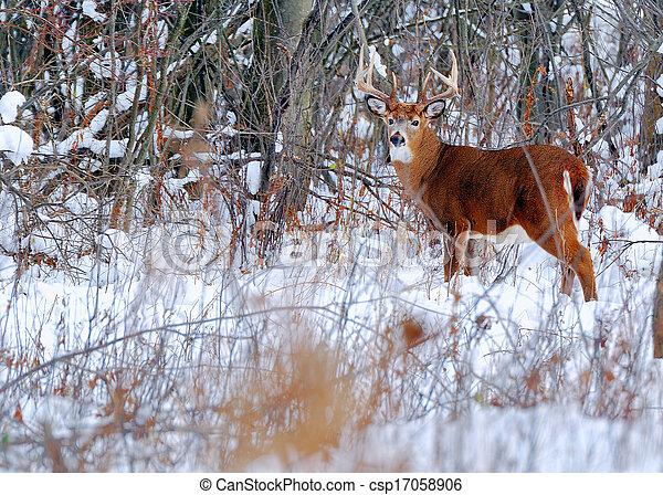 Whitetail Deer Buck - csp17058906