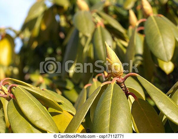 image de rhododendron bourgeons feuilles csp17112771 recherchez des photographies des. Black Bedroom Furniture Sets. Home Design Ideas