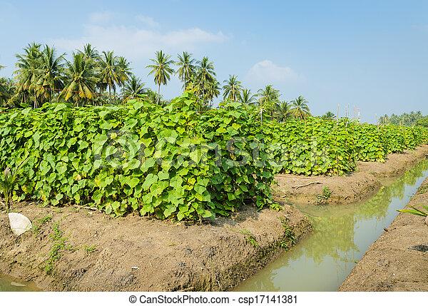 images de plantation concombre concombre plantation dans csp17141381 recherchez des. Black Bedroom Furniture Sets. Home Design Ideas