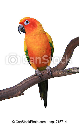 Cute Sun Conure Parrot Sitting on a Wooden Perch - csp1715714