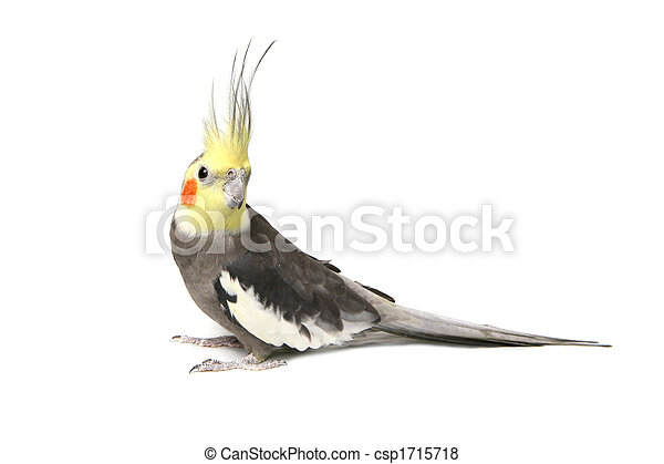 Cute Grey Curious Cockatiel - csp1715718