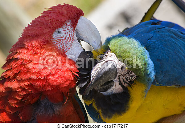 Grooming Green Wing Macaw Blue Gold Macaw - csp1717217