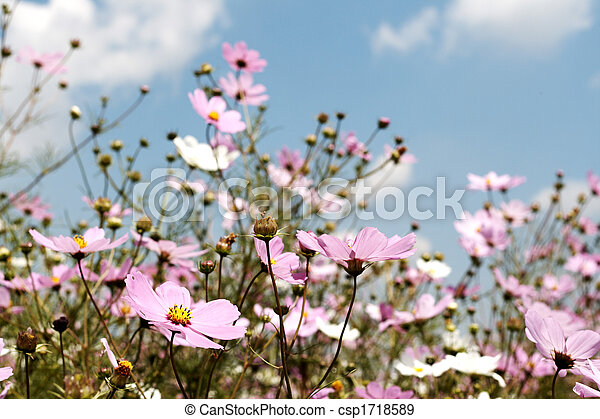 Field of wild cosmos flowers - csp1718589