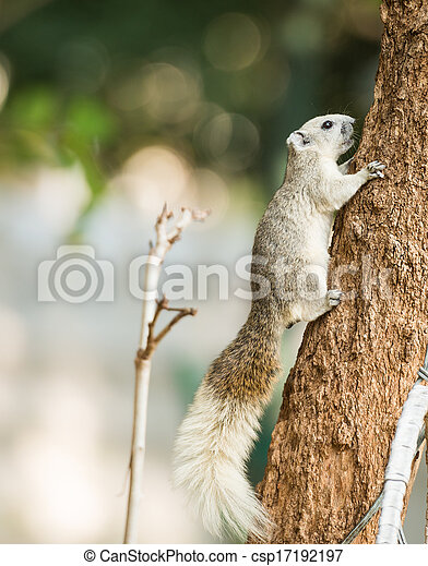 squirrel or small gong, Small mammals on tree - csp17192197
