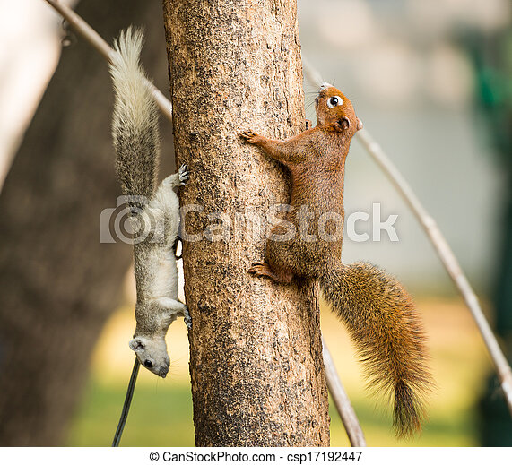 squirrel or small gong, Small mammals on tree - csp17192447
