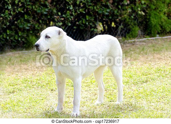Central Asian Shepherd Dog - csp17236917