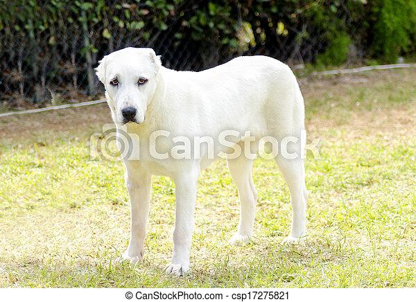 Central Asian Shepherd Dog - csp17275821