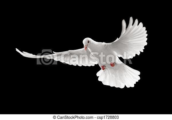 white pigeon - csp1728803
