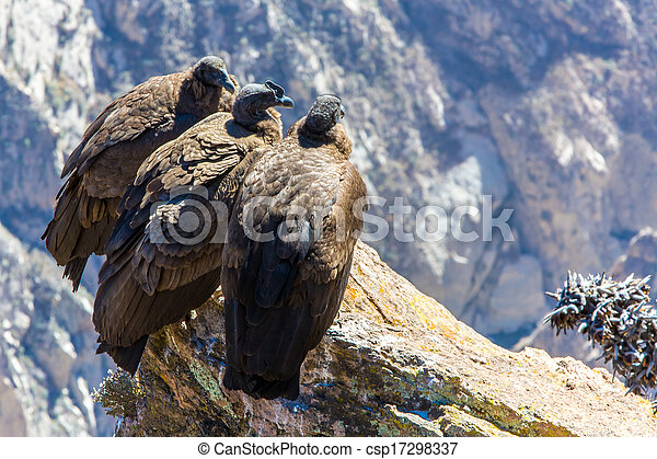 Three Condors at Colca canyon sitting, Peru, South America. This is a condor the biggest flying bird on earth