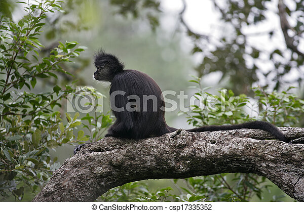 Central American Spider Monkey or Geoffroys spider monkey, Ateles geoffroyi, single mammal on branch - csp17335352