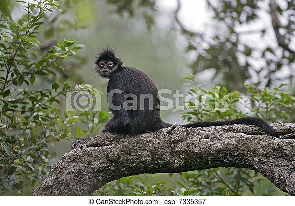 Central American Spider Monkey or Geoffroys spider monkey, Ateles geoffroyi, single mammal on branch - csp17335357