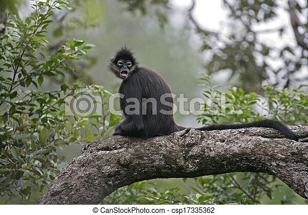 Central American Spider Monkey or Geoffroys spider monkey, Ateles geoffroyi, single mammal on branch - csp17335362