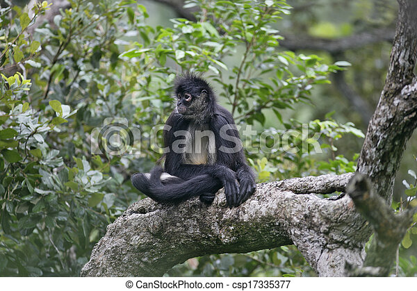 Central American Spider Monkey or Geoffroys spider monkey, Ateles geoffroyi, single mammal on branch - csp17335377