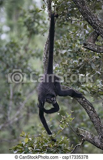 Central American Spider Monkey or Geoffroys spider monkey, Ateles geoffroyi, single mammal on branch - csp17335378