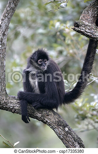 Central American Spider Monkey or Geoffroys spider monkey, Ateles geoffroyi, single mammal on branch - csp17335380