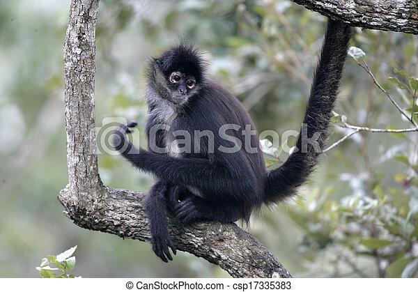 Central American Spider Monkey or Geoffroys spider monkey, Ateles geoffroyi, single mammal on branch - csp17335383