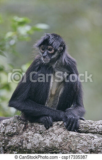 Central American Spider Monkey or Geoffroys spider monkey, Ateles geoffroyi, single mammal on branch - csp17335387