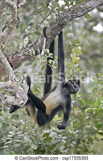 Central American Spider Monkey or Geoffroys spider monkey, Ateles geoffroyi, single mammal on branch - csp17335393