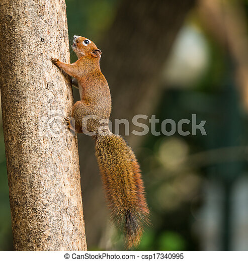 squirrel or small gong, Small mammals on tree - csp17340995
