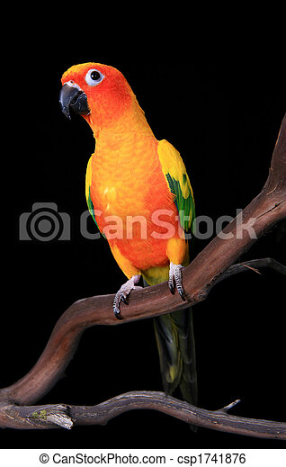 Curious Sun Conure Parrot Looking Ahead - csp1741876