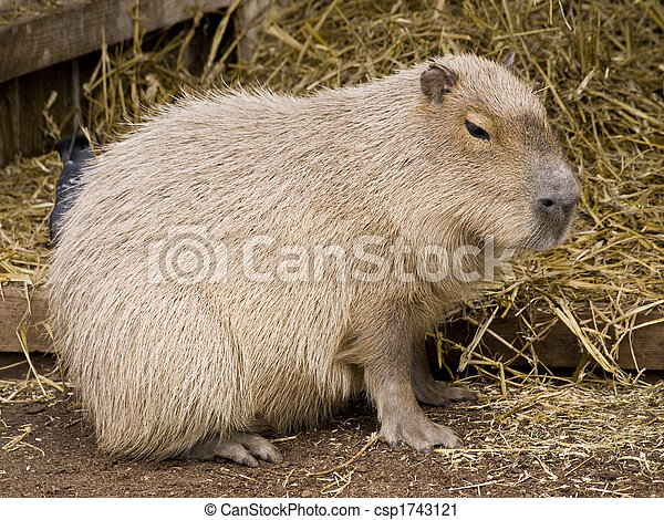 stock fotografie van schattig  capybara  knaagdier  tegen Spider Monkey Clip Art Capybara Dangerous
