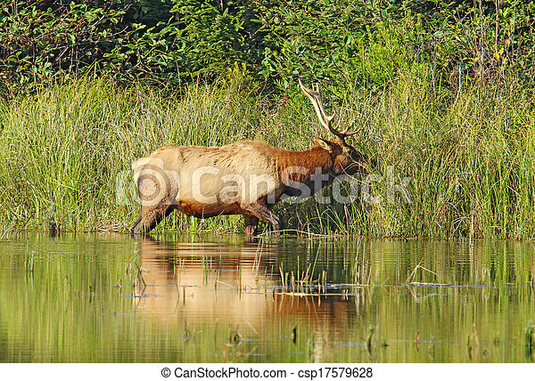 Male or bull Roosevelt elk (Cervus canadensis roosevelti) browsing on grasses on the edge of a pond near Fern Canyon in Prairie Creek Redwoods State Park, California - csp17579628