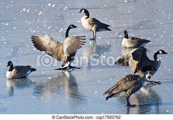 Canada Geese Landing on Frozen Lake - csp17583762