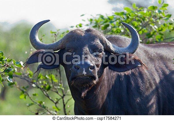 A big big buffalo of the Tanzania's national park - csp17584271