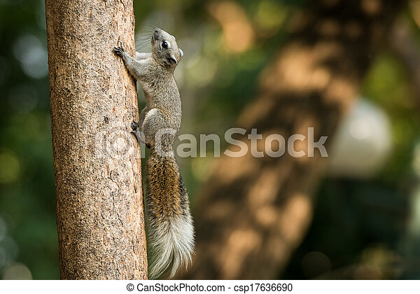 squirrel or small gong, Small mammals on tree - csp17636690