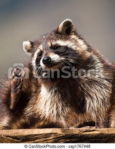 racoon (lat. Procyon lotor) - csp1767448
